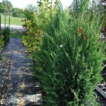 Blue Sky Rocket Juniper