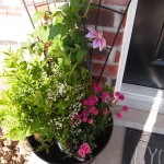 Porch container garden with clematis fireworks, double white deutzia, pink pot carnation and armeria maritima.