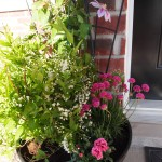 Close-up of my porch container garden with clematis fireworks, double white deutzia, pink pot carnation and armeria maritima.