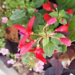 Another small fuchsia