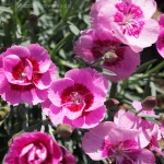 Closeup of Dianthus flashing light maiden pink flowers