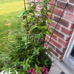 Clematis Planter - the clematis is finally starting to grow again after being bashed around by the wind.