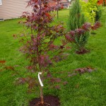 New trees along the lot line with Fireglow Japanese Maple closest