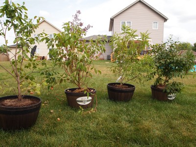 All four shrubs in pots making a nice privacy screen