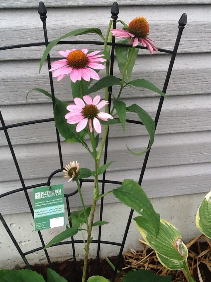 Coneflowers (Echinacea) after