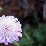 Close up of a purple Pincushion 'butterfly blue' flower in the rock garden