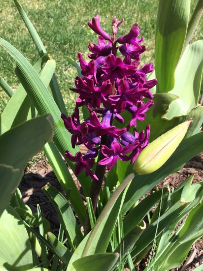 Love the colour of this hyacinth