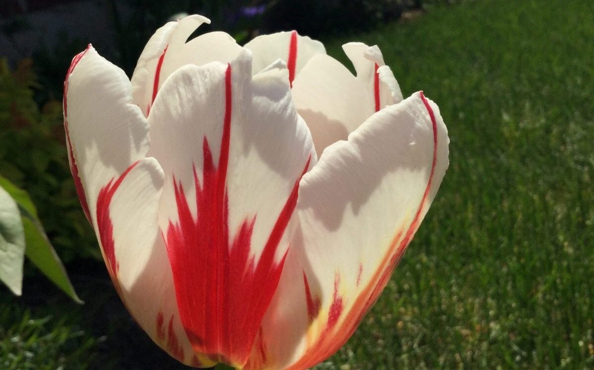 Canadian Maple Leaf Flag Tulip